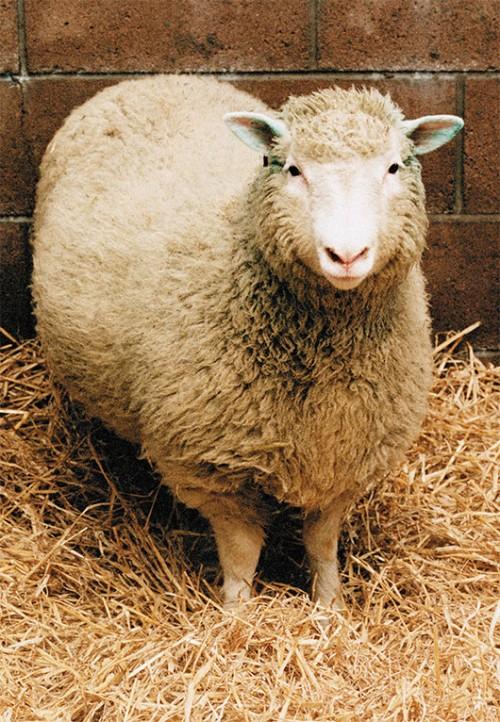 הכבשה המפורסמת דולי היתה מעין תאומה זהה של הכבשה שתרמה את הגן הסומטיצילום: אימג'בנק
