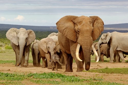 בשנים 2010-2012 ניצודו באפריקה כ-100 אלף פיליםצילום: שאטרסטוק