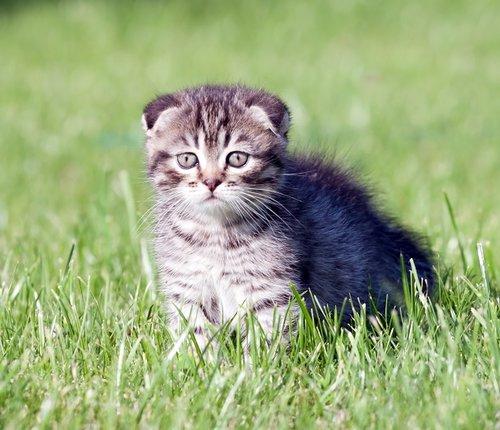 חתול דב נבון. צילום: שאטר סטוק