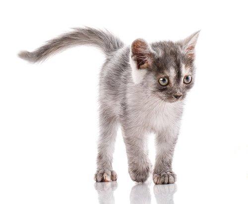 חתול אלקסיס בלדל. צילום: שאטר סטוק