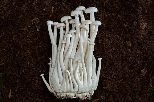 פטריות שינוקי (צילום: אנטולי מיכאלו)