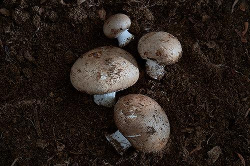 פטריות פורטובלה (צילום: אנטולי מיכאלו)