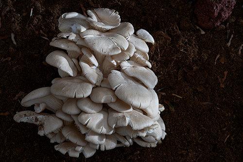 פטריות יער / אויסטר (צילום: אנטולי מיכאלו)